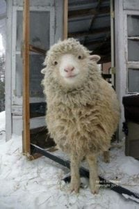 ef1a4bdc61861ff7ffeb401bb9e173d6-smiley-content-cute-sheep